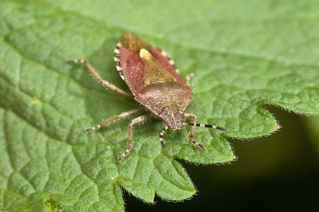 165: Sloe Bug