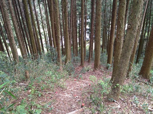 相戸岳 東ルート 杉植林帯
