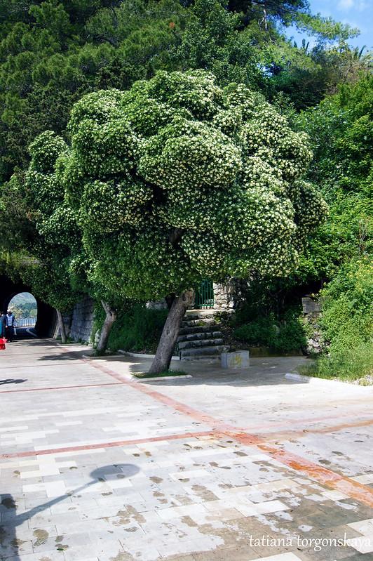 Питтоспорум на шеталиште в Херцег Нови