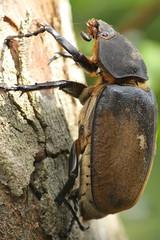 Elephant beetle female