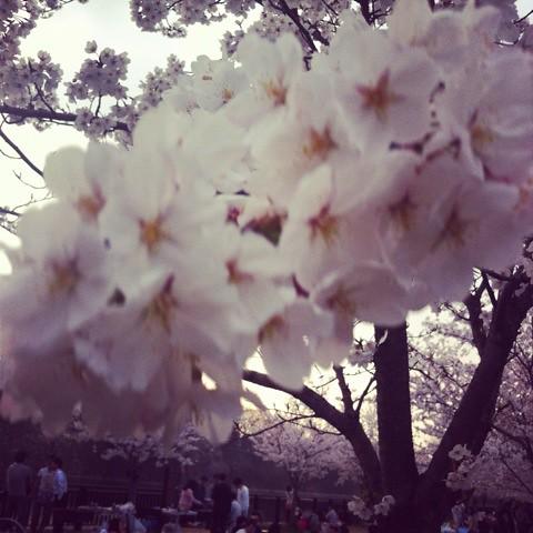 大阪城の桜でかい!