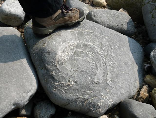24263 - Fossil Ammonite, Lyme Regis