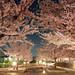 Sakura by janurade