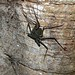 Small photo of Whip Spider (Phrynus whitei)