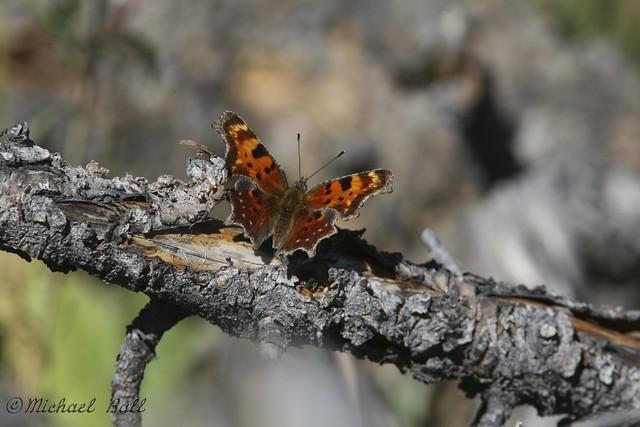 Yellowstone Butterfly