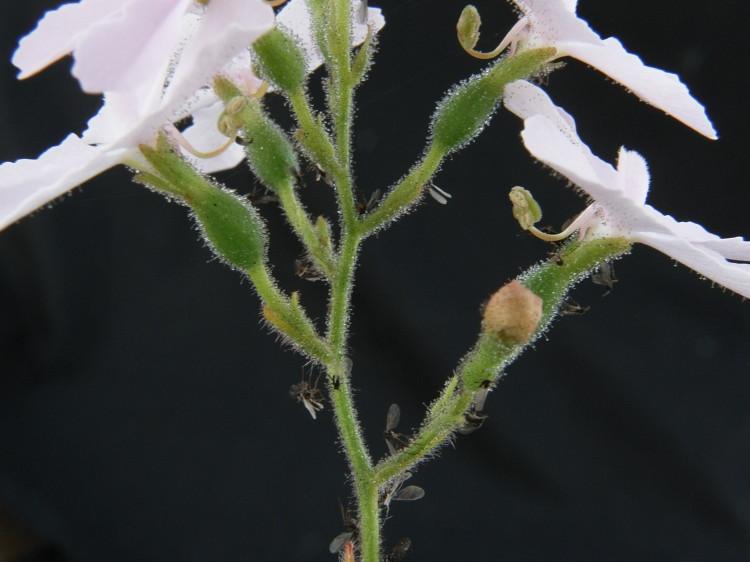triggerplant020: Stylidium affine 6969042046_a1cd358cc4_b