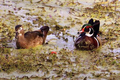 Wood Ducks, Female and Male