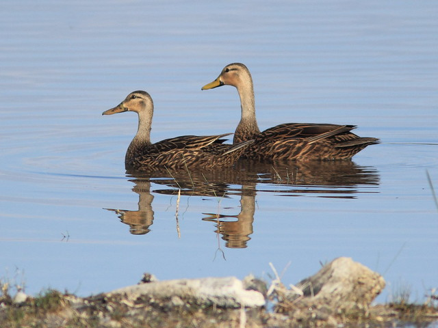 Mottled Ducks 3-20120411