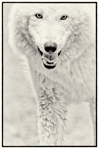 White Wolf by Dan Newcomb Photography