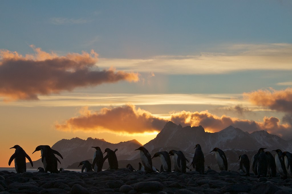 Sunrise at King penguin colony, Salisbury plain