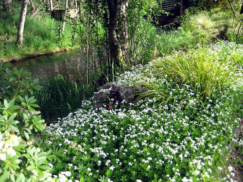Sweet woodruff by Empire Creek