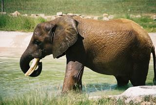African elephant, Mysore Zoo, Mysore