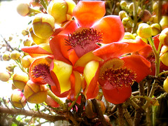 flower, yellow, cannonball tree, plant, macro photography, flora, couroupita, petal,