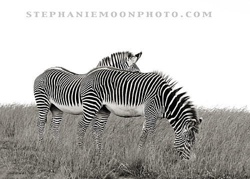 Grevy's Zebras at the Wilds