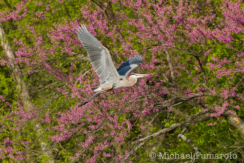Great Blue Heron Flying Past A Red Bud Tree
