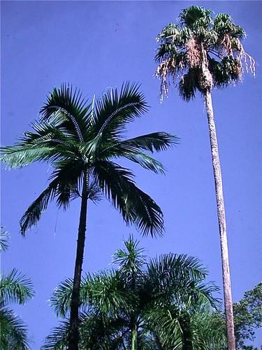 Palm garden at Mayaguez