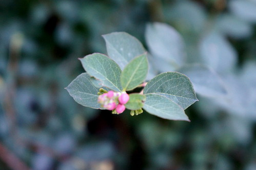 snowberry flower