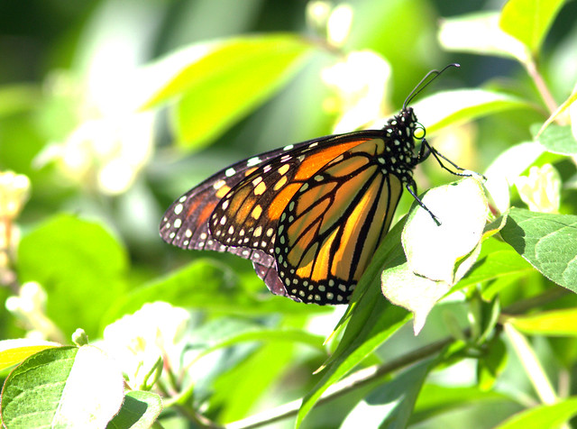 Monarch Butterfly 20120508