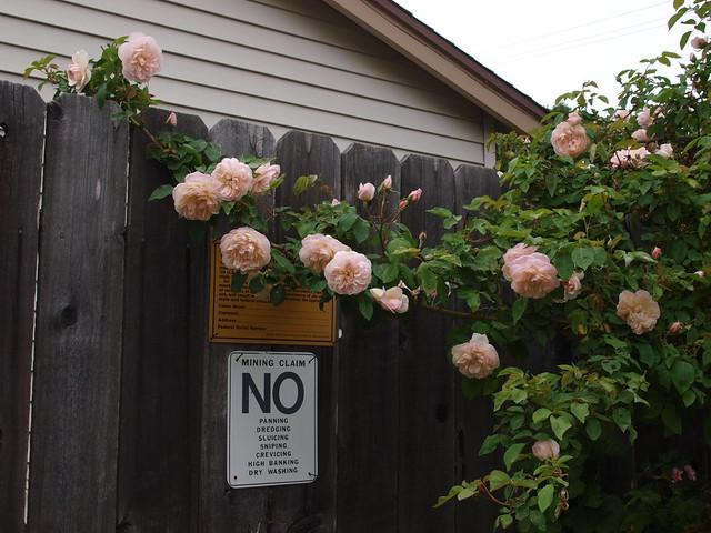 L5113713 Jaune desprez roses