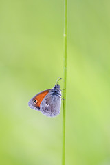 Sleeping Coenonympha pamphilus