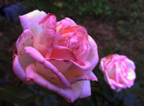 Roses by colette_noir