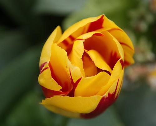 Mowbray Tulip