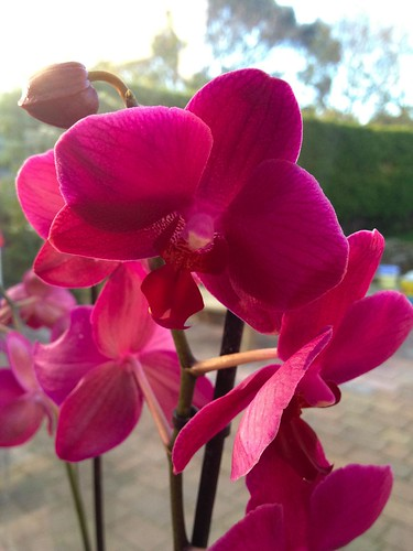 Glorious orchid
