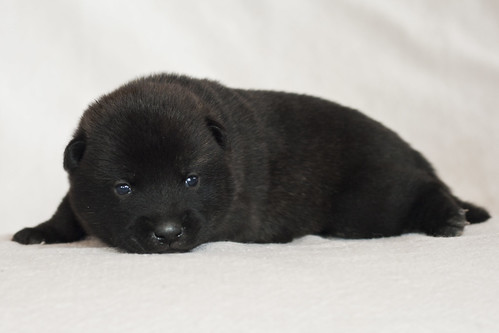 Haru-Third-Litter-Pup1-Male-Day15c