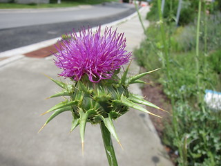 thistle? cardoon?