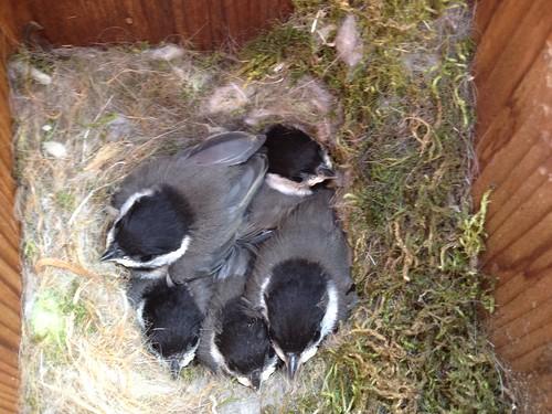 Chickadees Day 16