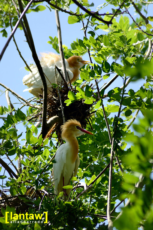 Nesting Cattle Egrets
