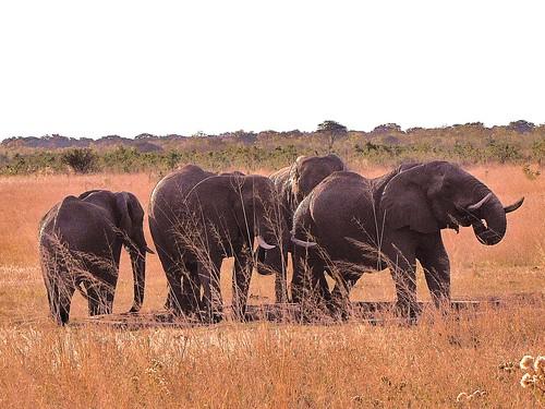 Elephant herd - Hwange, Zimbabwe by CharlesRay2010