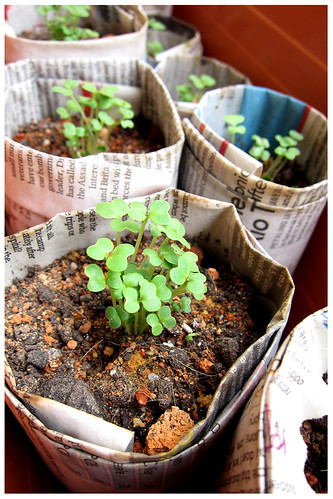 pok choy seedlings by melmok