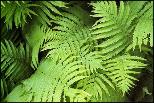 ferny
