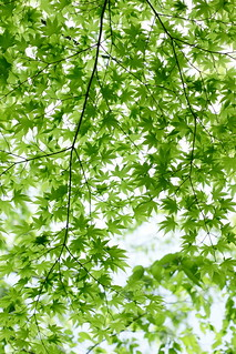 green of maple