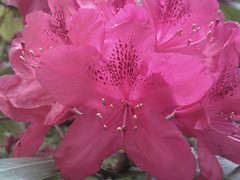 Rhododendron in the  early morning