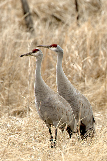 Greater Sandhill Crane pair  MC8377_Barbara Wheeler Photography, USFWS Volunteer[4]