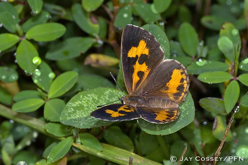 ohio butterfly dorsal harvester insecta fenisecatarquinius lepidopterabutterfliesmoths mohicansp photographerjaycossey