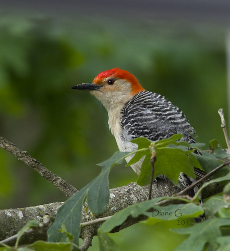 Red-bellied Woodpecker 8