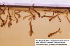 Mosquito larvae, Larvicide