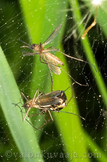 Hyttysiä hämähäkin verkossa