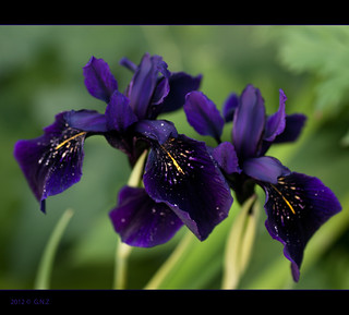 "Iris chrysographes ""Black form"""