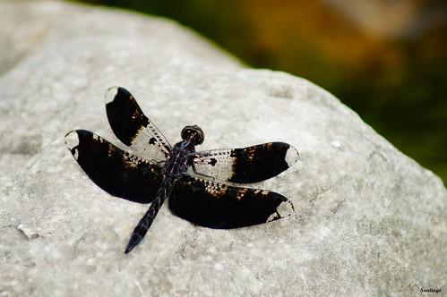 méxico insect dragonfly libélula hidalgo