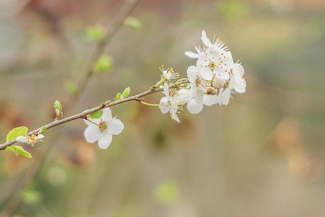 [005] Cherry Blossom