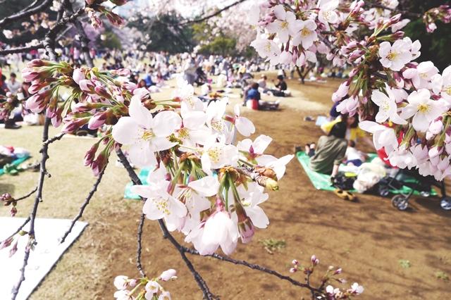 Shinjuku Gyoen 新宿御苑•花見
