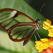 Glasflügler by delopafoto