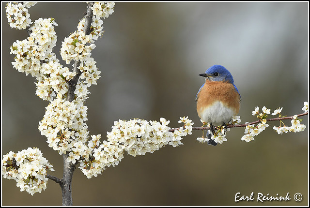 More Bluebirds (with blossums though..)