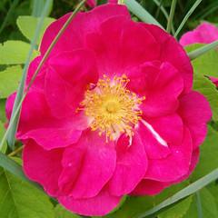 rosa 㗠centifolia(0.0), floribunda(0.0), camellia japonica(0.0), peony(0.0), camellia sasanqua(1.0), flower(1.0), rosa gallica(1.0), plant(1.0), rosa rubiginosa(1.0), theaceae(1.0), petal(1.0),