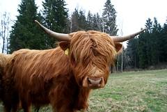agriculture(0.0), texas longhorn(0.0), flower(0.0), ox(0.0), cattle-like mammal(1.0), animal(1.0), mane(1.0), bull(1.0), mammal(1.0), horn(1.0), grazing(1.0), meadow(1.0), cattle(1.0), yak(1.0), pasture(1.0),
