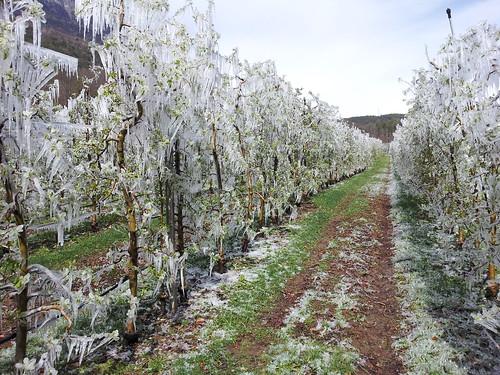 Vereiste Apfelbäume in Südtirol nach einer Frostnacht